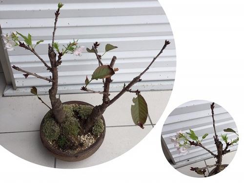季節外れの桜ちゃん.jpgのサムネイル画像